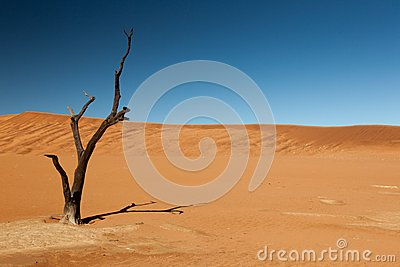 Withered tree in the desert