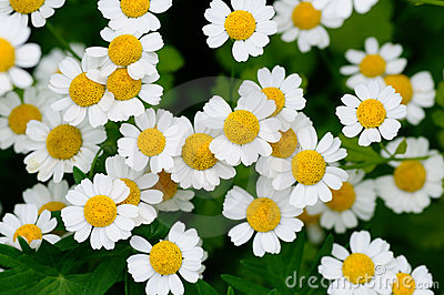 Witte camomiles