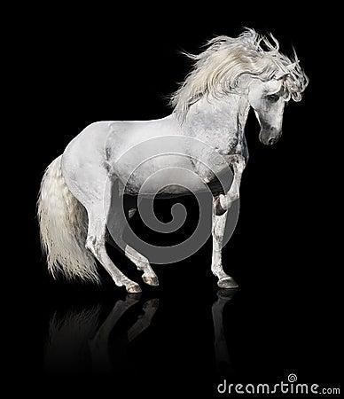 Witte $ce-andalusisch paardhengst die op zwarte wordt geïsoleerdo