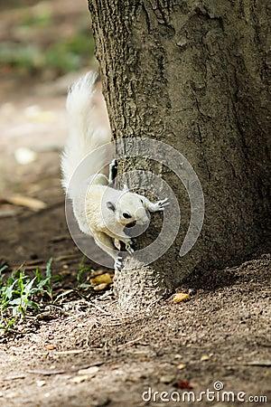 Witte eekhoorn