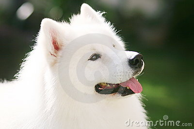 Witte hond