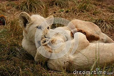 Witte leeuwwelpen
