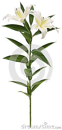 Witte Lelie