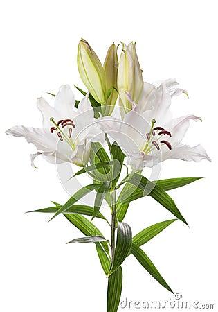 Witte leliebloemen