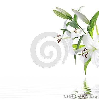 Witte liliumbloem - het ontwerpachtergrond van het KUUROORD