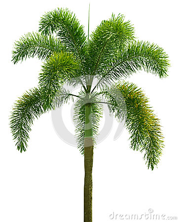 Free Wodyetia (Foxtail Palm). Palm Tree Isolated On White Royalty Free Stock Photos - 44405308