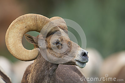 Woestijnbighorn Ram Portrait