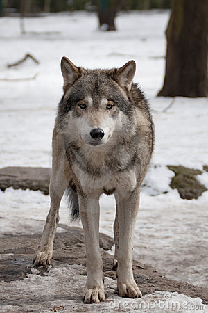 Free Wolf Royalty Free Stock Photography - 11347057