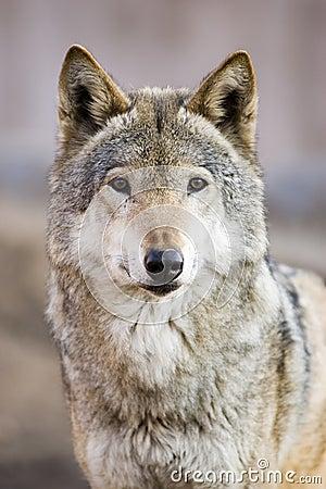Free Wolf Royalty Free Stock Photo - 4239255