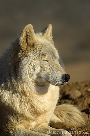 Free Wolf Royalty Free Stock Photography - 4348737