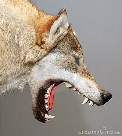 Free Wolf Stock Images - 5018534