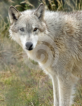 Free Wolf Royalty Free Stock Image - 54418386