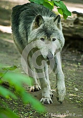 Free Wolf Royalty Free Stock Photos - 7493508