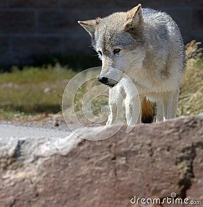 Wolf Behind Rock