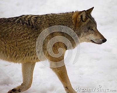 Wolf from Bialowieza / Poland