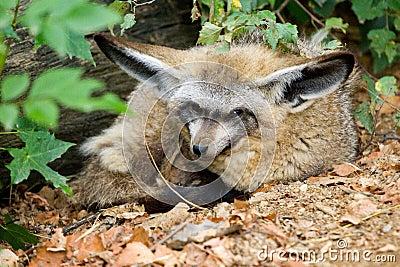 Wolf Cub Maned