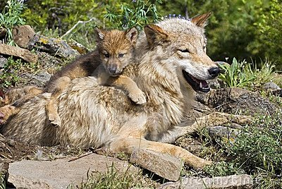 Wolf Cub And Mother Royalty Free Stock Photography - Image: 17041737