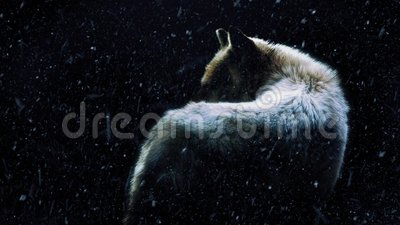 Wolf In Dark Forest With Snow Falling. Wolf in dramatic lighting in the dark with snow falling