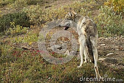 Wolf - denali national park - alaska