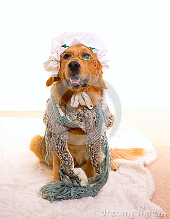 Wolf dog dressed as grandma golden retriever