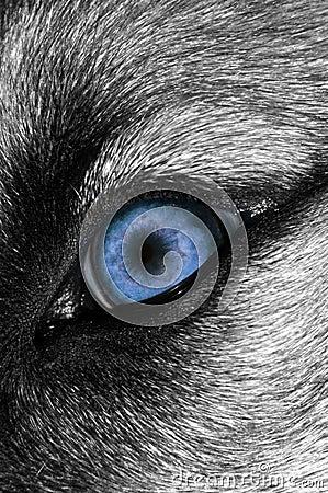 Free Wolf Eye - Bluer Royalty Free Stock Photo - 7019675