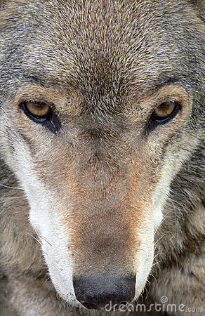 Wolf close up face wolf face close up 3028306