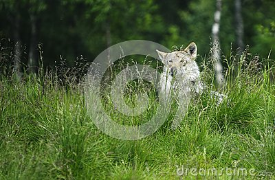 Wolf in a grass
