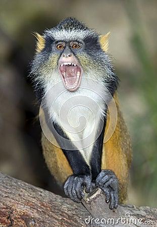 Wolf guenon monkey, africa big eyed gremlin