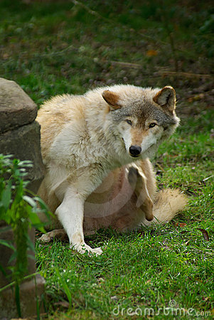 Free Wolf Itching Itself Royalty Free Stock Photography - 3921737