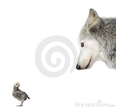 Wolf looking at a chick against white background