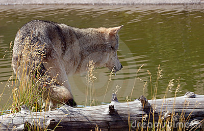 Wolf Looking into Pool
