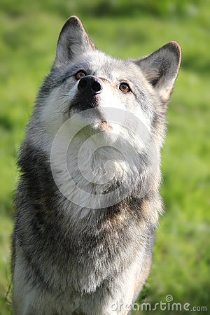 Free Wolf Looking Up Portrait Stock Photo - 34229740