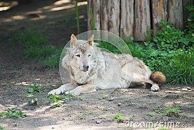 Wolf lying