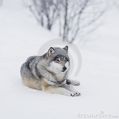 One Wolf resting in the Snow