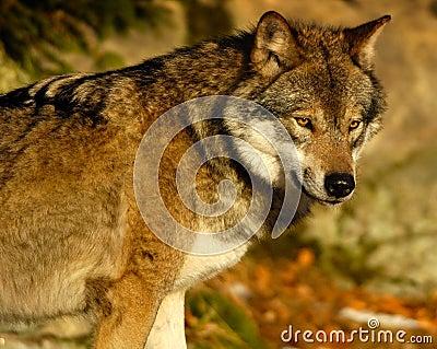 Wolf observe II