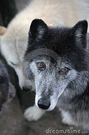Wolf in Pack