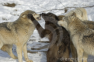 Wolf pack aggression
