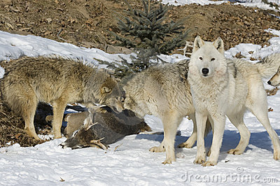 Wolf pack on kill
