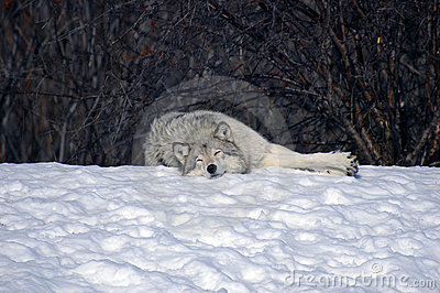 Wolf sleeping in the snow