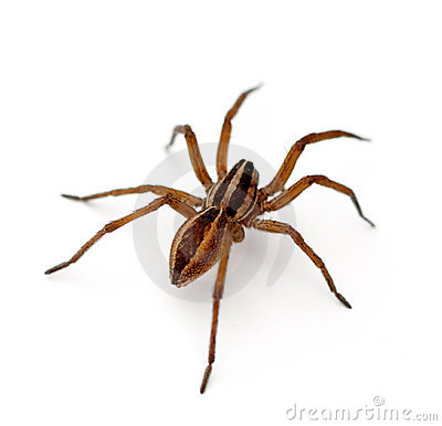 Free Wolf Spider Royalty Free Stock Photography - 20598237