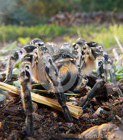 Free Wolf Spider Royalty Free Stock Photos - 34885988