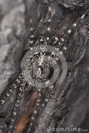 Wolf spider on burnt coal