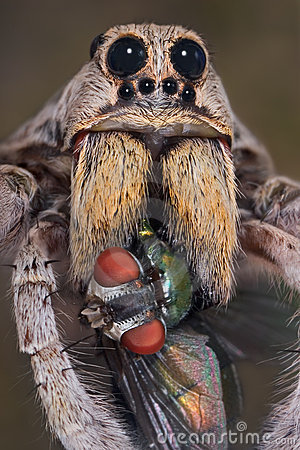 Wolf spider with fly in fangs