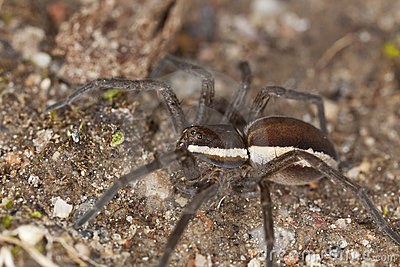 Wolf spider on ground.