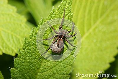 Wolf spider (Pardosa lugubris)