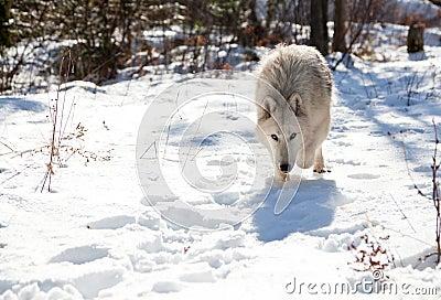 Wolf Stalking Prey