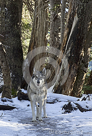 Wolf Standing Among Trees In Winter Forest