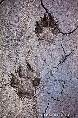 Wolf tracks