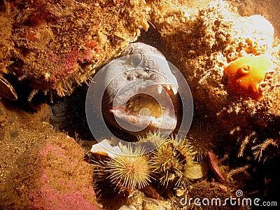 Wolffish eating urchin