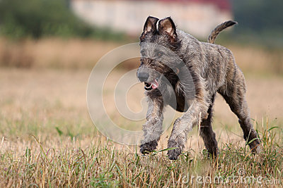 Wolfhound irlandês